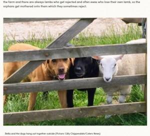 【海外発!Breaking News】自分を犬と思い込む羊 遠くから群れを眺める姿に笑いの声(英)<動画あり>