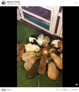 飼育されているモルモットたち(画像は『Masons' Cavies 2021年4月22日付Facebook』のスクリーンショット)