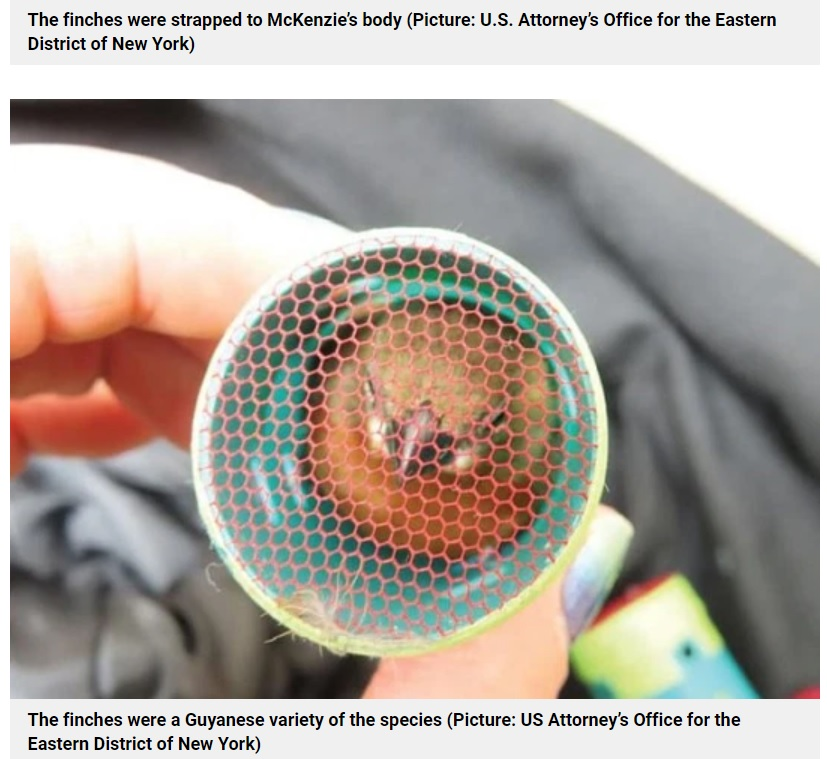 身動きが取れない状態だった小鳥(画像は『Metro 2021年4月28日付「Bird smuggler taped 35 live finches stuffed in hair curlers to his body for 5-hour flight」(Picture: US Attorney's Office for the Eastern District of New York)』のスクリーンショット)