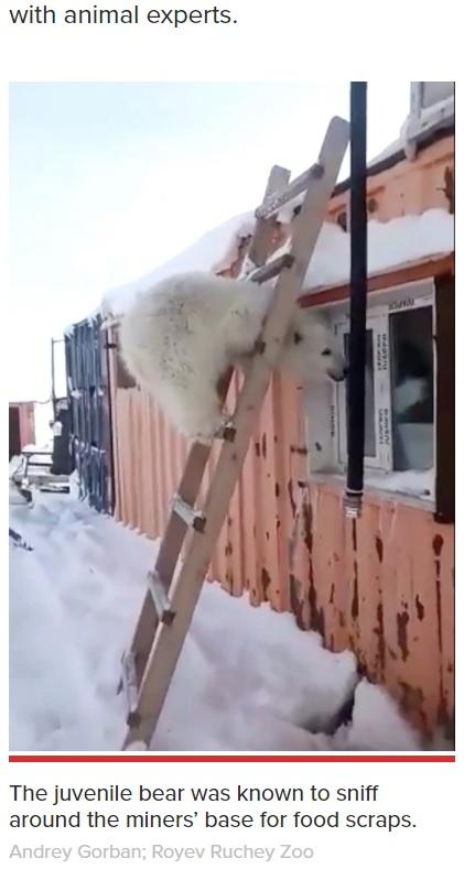 はしごに登って遊ぶ子グマ(画像は『New York Post 2021年4月22日付「Orphaned polar bear cub cuddles 'like a dog' after rescue」(Andrey Gorban; Royev Ruchey Zoo)』のスクリーンショット)