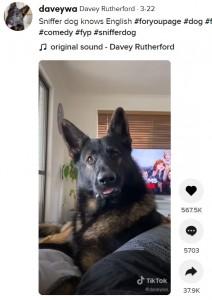 """""""コカイン""""という言葉を聞くとダンテはすぐ仕事モードに(画像は『Davey Rutherford 2021年3月22日付TikTok「Sniffer dog knows English」』のスクリーンショット)"""