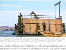 【海外発!Breaking News】大雨で島に取り残された絶滅危惧種のキリンを救え!(ケニア)<動画あり>