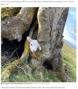 木の根元に挟まって出られなくなっていた子羊(画像は『Daily Post 2021年4月15日付「Tattooists show softer side with 'Disney-style' rescue of lamb from tree in North Wales」(Image: Manchester Evening News)』のスクリーンショット)