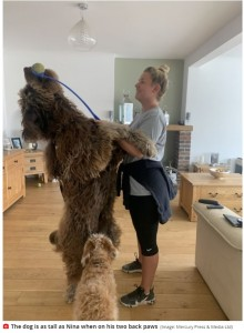 後ろ足で立ちあがるとニーナさんの身長を超すほどに(画像は『Mirror 2021年4月23日付「Owner of puppy, 2, dubbed 'Chewbacca' had no idea dog would grow to a human size」(Image: Mercury Press & Media Ltd)』のスクリーンショット)