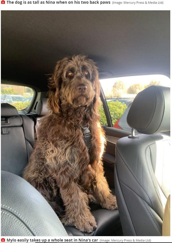 この大きさでまだ2歳という犬(画像は『Mirror 2021年4月23日付「Owner of puppy, 2, dubbed 'Chewbacca' had no idea dog would grow to a human size」(Image: Mercury Press & Media Ltd)』のスクリーンショット)