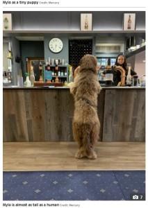 バーのカウンターに寄りかかるマイロ(画像は『The Sun 2021年4月23日付「CHEW BARKER Newfoundland-poodle cross is so shaggy that he gets mistaken for Chewbacca」(Credit: Mercury)』のスクリーンショット)