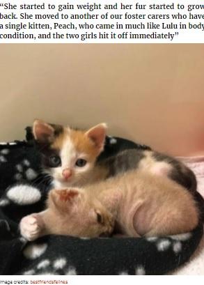 子ネコのピーチとすぐに仲良しに(画像は『Bored Panda 2021年4月19日付「Kitten With Small Body But Strong Will To Live Undergoes A Life-Changing Transformation That Turns It Into A Gorgeous Calico Cat」(Image credits: bestfriendsfelines)』のスクリーンショット)