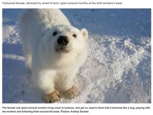 【海外発!Breaking News】採掘作業員に懐くホッキョクグマの子ども 「まるで犬みたいだった」(露)<動画あり>