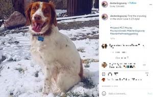 「全てうまくいってるよ」という姿勢を崩さないデクスター(画像は『dexter.the_three_legged_dog 2018年11月13日付Instagram「Find the snowdog in the snow!」』のスクリーンショット)
