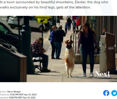 後ろ足を上手く使って散歩するデクスター(画像は『9News 2021年4月8日付「After accident, dog adapts by learning to walk on hind legs」』のスクリーンショット)