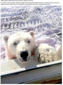 人間を怖がる様子も見せず、人懐っこく近寄ってきた(画像は『Siberian Times 2021年4月22日付「Polar bear cub tamed 'like a dog' by gold miners rescued from Arctic island of Bolshevik」』のスクリーンショット)