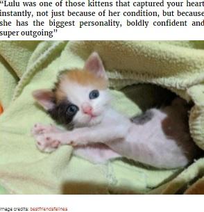 人懐こくおおらかな性格のルル(画像は『Bored Panda 2021年4月19日付「Kitten With Small Body But Strong Will To Live Undergoes A Life-Changing Transformation That Turns It Into A Gorgeous Calico Cat」(Image credits: bestfriendsfelines)』のスクリーンショット)