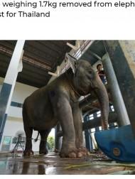 【海外発!Breaking News】胆石の痛みで倒れたゾウ 獣医20人がかりで1.7キロの大きな石を摘出(タイ)<動画あり>