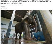 胆石の痛みで倒れたゾウ 獣医20人がかりで1.7キロの大きな石を摘出(タイ)<動画あり>