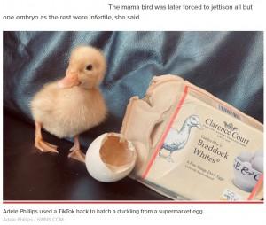 【海外発!Breaking News】スーパーで買ったアヒルの卵に有精卵を発見 1か月間温めてヒナが誕生(英)