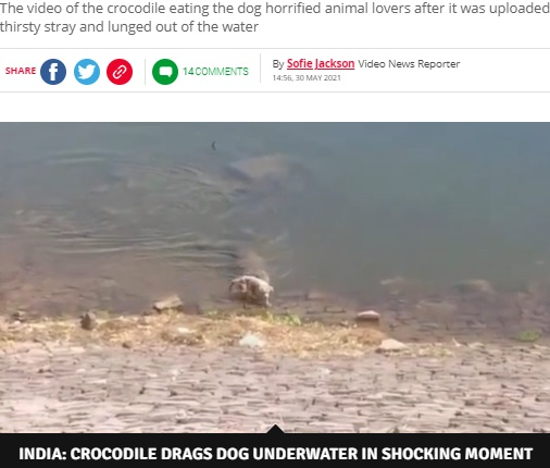 野良犬のすぐ後ろに迫ったワニ(画像は『Daily Star 2021年5月30日付「Huge crocodile grabs whimpering dog while it's drinking and drags it to its death」(Image: SWNS)』のスクリーンショット)
