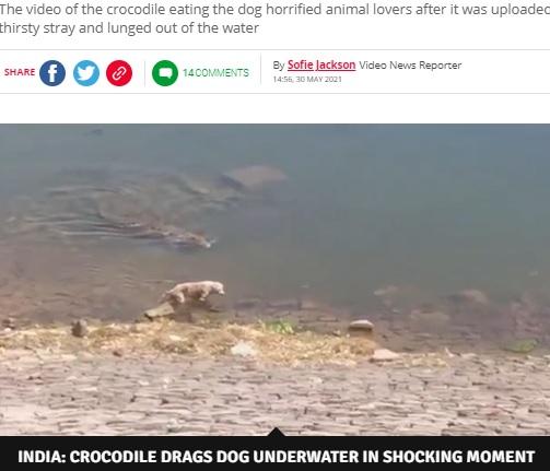 野良犬に近づく巨大ワニ(画像は『Daily Star 2021年5月30日付「Huge crocodile grabs whimpering dog while it's drinking and drags it to its death」(Image: SWNS)』のスクリーンショット)