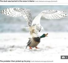 【海外発!Breaking News】シロフクロウの鋭い爪がマガモを掴む! 宙に舞い上がる瞬間を捉えた(米)