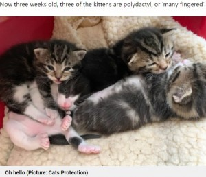 【海外発!Breaking News】きょうだい3匹が多指症のネコ 「珍しいケース」と注目(英)