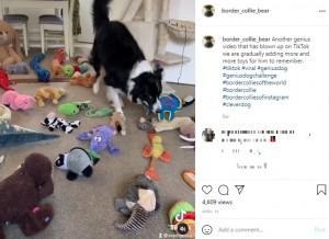 数あるぬいぐるみから恐竜を見つけて口にくわえるベアー(画像は『Bear Tennant 2021年4月14日付Instagram「Another genius video that has blown up on TikTok」』のスクリーンショット)