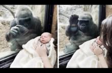 【海外発!Breaking News】動物園の母ゴリラ、人間の赤ちゃんに興味津々でガラス越しに会話(米)<動画あり>