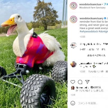 【海外発!Breaking News】4輪バギー型の歩行器を使いこなすアヒル 自力で歩く日を夢見てリハビリに励む(米)<動画あり>