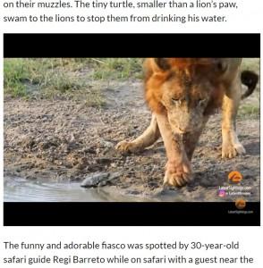 しつこく攻撃するカメに、ライオンも立ち上がる(画像は『The Citizen 2021年4月21日付「WATCH: Territorial turtle chases lion from his waterhole」』のスクリーンショット)