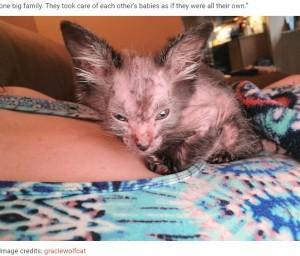顔の毛が抜け始めたグレイシー(画像は『Bored Panda 2021年5月11日付「Owners Thought Their Kitten Was Sick, Found Out That Gracie Is Actually A Wolfcat」(Image credits: graciewolfcat)』のスクリーンショット)