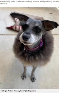 まるで羊のようになってしまったペッパー(画像は『Metro 2021年5月27日付「Dog refuses to sit still for trimming and ends up looking like a sheep」(Picture: Kennedy News and Media)』のスクリーンショット)