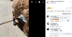 ティガーの脚は感染症により、赤く腫れ上がってしまった(画像は『Wheatens In Need Rescue 2021年4月10日付Facebook「This is 6-month-old Tigger in Arizona.」』のスクリーンショット)