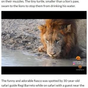 よほど喉が渇いていたのか、ずっと水を飲み続けるライオン(画像は『The Citizen 2021年4月21日付「WATCH: Territorial turtle chases lion from his waterhole」』のスクリーンショット)