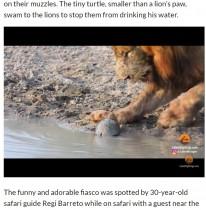 【海外発!Breaking News】小さなカメがライオンを威嚇? 異色の組み合わせにほっこり(南ア)<動画あり>