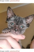 生後5週間で毛が抜けたネコ、オオカミに似た希少なウルフキャットと判明(米)<動画あり>