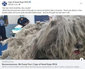【海外発!Breaking News】一度もケアされずドレッドヘアのようになったプードル 1.6キロの毛の塊から解放される(南ア)