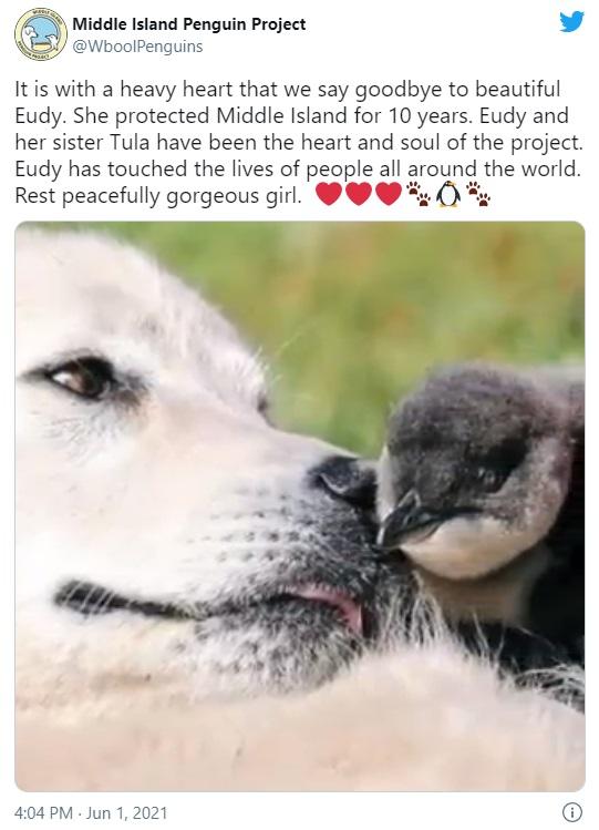 世界最小のペンギンを10年にわたり守り続けた牧羊犬ユーディ(画像は『Middle Island Penguin Project 2021年6月1日付Twitter「It is with a heavy heart that we say goodbye to beautiful Eudy.」』のスクリーンショット)