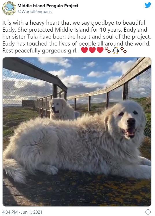 ミドル・アイランド・ペンギンプロジェクトで牧羊犬を務めたユーディと姉のトゥーラ(画像は『Middle Island Penguin Project 2021年6月1日付Twitter「It is with a heavy heart that we say goodbye to beautiful Eudy.」』のスクリーンショット)