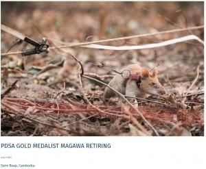 地雷のニオイを検知するとハンドラーに合図をするマガワ(画像は『APOPO 2021年6月3日付「PDSA GOLD MEDALIST MAGAWA RETIRING」(Simon Guillemin)』のスクリーンショット)