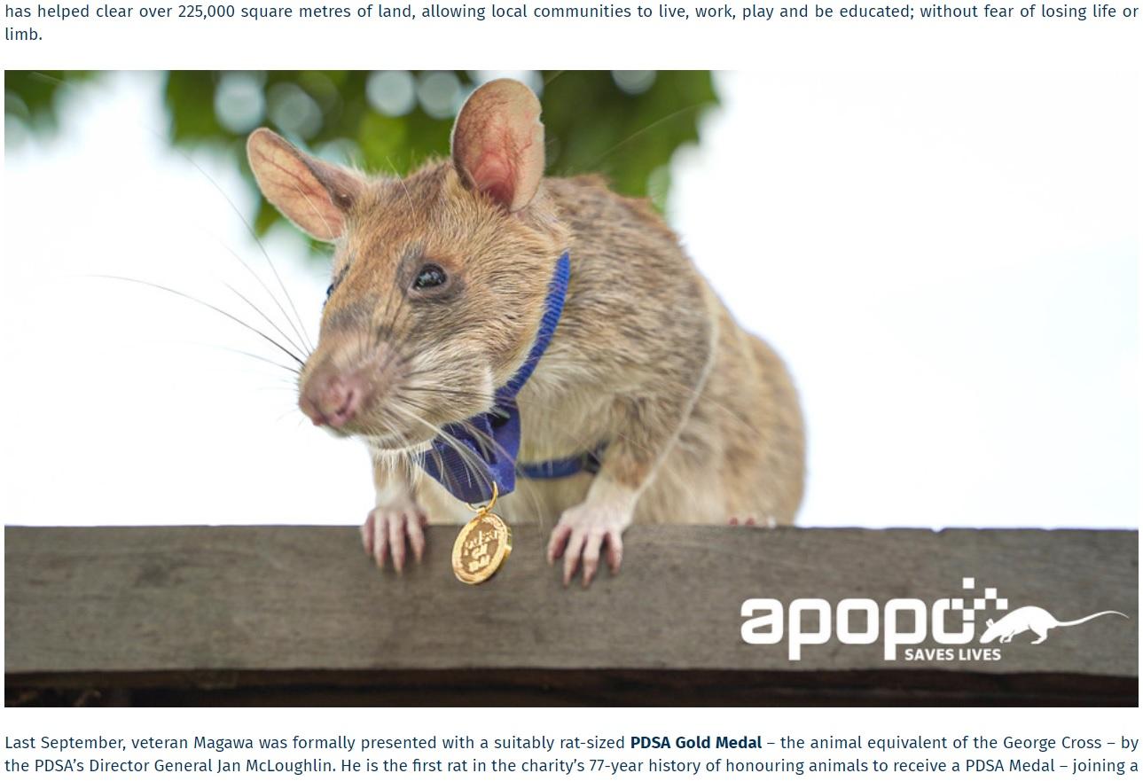 昨年9月には小さな金メダルが贈られたマガワ(画像は『APOPO 2021年6月3日付「PDSA GOLD MEDALIST MAGAWA RETIRING」(PDSA)』のスクリーンショット)