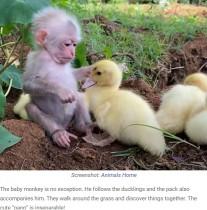 【海外発!Breaking News】アヒルの赤ちゃん軍団を世話する子ザル、種族を超えて戯れる姿が愛らしすぎる(インドネシア)<動画あり>