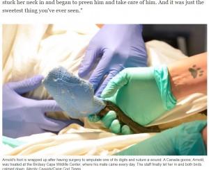 重傷だったアーノルド(画像は『Cape Cod Times 2021年7月16日付「Honking good love story: Goose watches over injured mate at Birdsey Cape Wildlife Center」(Merrily Cassidy/Cape Cod Times)』のスクリーンショット)