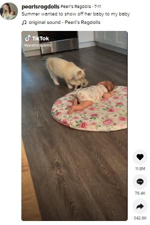 子猫をくわえて赤ちゃんに近づく母猫(画像は『Pearl's Ragdolls 2021年7月11日付TikTok「Summer wanted to show off her baby to my baby」』のスクリーンショット)