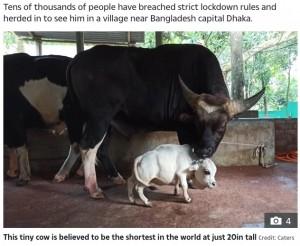 通常の成牛と比べるとその差は一目瞭然(画像は『The Sun 2021年7月9日付「LOWLY COW Tiny cow is believed to be the shortest in the world at just 20in tall」(Credit: Caters)』のスクリーンショット)