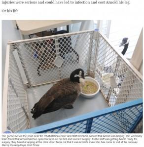 手術後、無事にパートナーと再会を果たす(画像は『Cape Cod Times 2021年7月16日付「Honking good love story: Goose watches over injured mate at Birdsey Cape Wildlife Center」(Merrily Cassidy/Cape Cod Times)』のスクリーンショット)