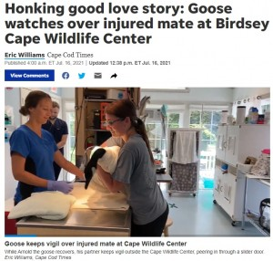 ケガの経過は順調な様子(画像は『Cape Cod Times 2021年7月16日付「Honking good love story: Goose watches over injured mate at Birdsey Cape Wildlife Center」(Eric Williams, Cape Cod Times)』のスクリーンショット)