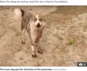 「こっちだよ」と助けを求める母犬(画像は『The Sun 2021年7月10日付「PUPPY LOVE Heartbreaking moment stray dog begs two men to save her puppy covered in tar after being stuck in pit for two days」(Credit: East2West)』のスクリーンショット)