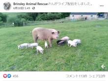 【海外発!Breaking News】妊娠中のブタが養豚場から逃走 9匹の子を産み、屠殺を逃れる(英)<動画あり>