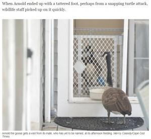 リハビリ中でも片時もパートナーのそばを離れようとしない(画像は『Cape Cod Times 2021年7月16日付「Honking good love story: Goose watches over injured mate at Birdsey Cape Wildlife Center」(Merrily Cassidy/Cape Cod Times)』のスクリーンショット)