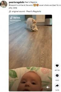 ブラッサムちゃん(下)と、子猫を再び連れてきたサマー(画像は『Pearl's Ragdolls 2021年7月17日付TikTok「Blossom's smile at the end」』のスクリーンショット)