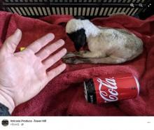 【海外発!Breaking News】通常の4分の1 わずか900グラムで誕生した子羊、瀕死の状態から元気に育つ(豪)<動画あり>