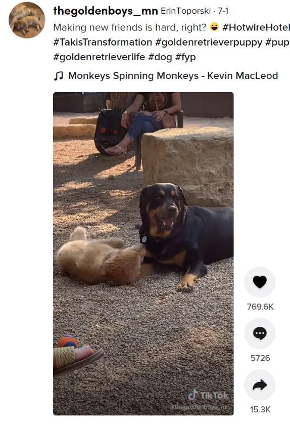 仲良く遊びたい子犬と全く相手にしないロットワイラー(画像は『ErinToporski 2021年7月1日付TikTok「Making new friends is hard, right?」』のスクリーンショット)